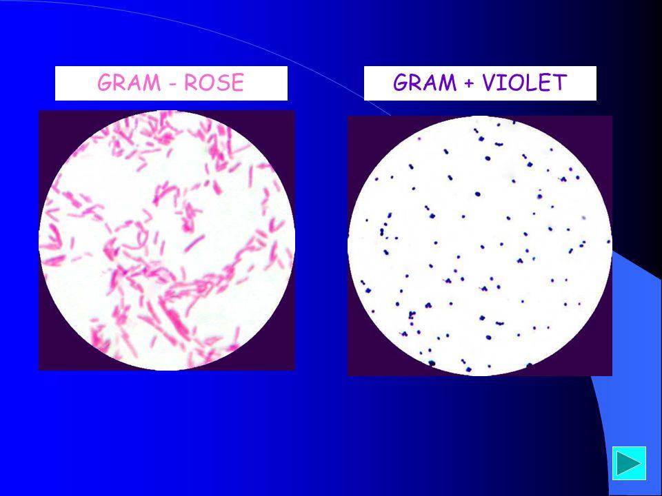 GRAM - ROSEGRAM + VIOLET