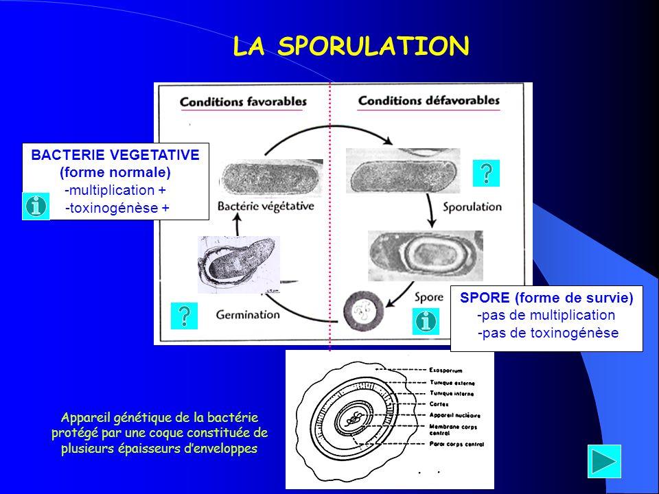 BACTERIE VEGETATIVE (forme normale) -multiplication + -toxinogénèse + LA SPORULATION SPORE (forme de survie) -pas de multiplication -pas de toxinogénè