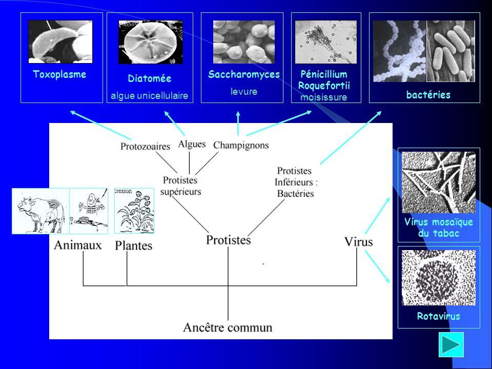 Virus mosaïque du tabac Rotavirus bactéries Pénicillium Roquefortii moisissure Saccharomyces levure Diatomée algue unicellulaire Toxoplasme
