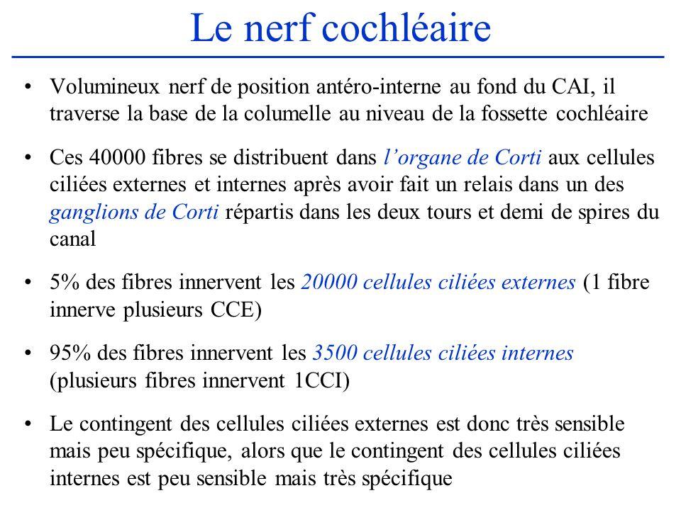 Le nerf cochléaire Volumineux nerf de position antéro-interne au fond du CAI, il traverse la base de la columelle au niveau de la fossette cochléaire
