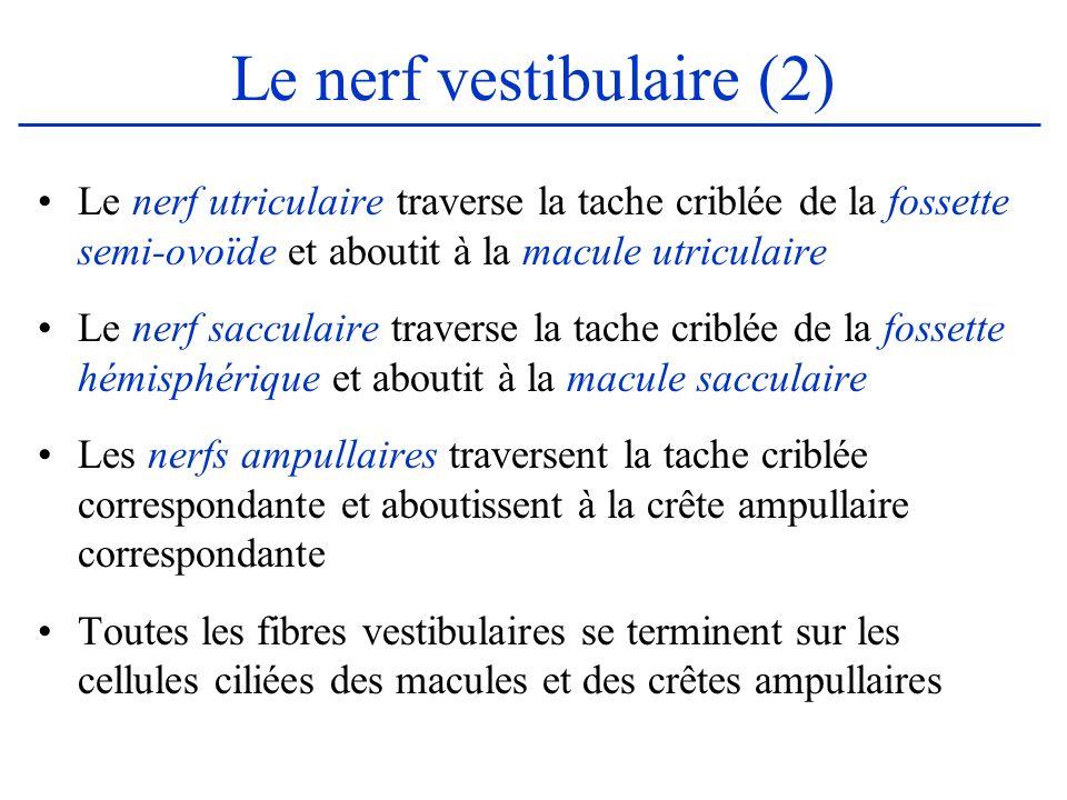 Le nerf vestibulaire (2) Le nerf utriculaire traverse la tache criblée de la fossette semi-ovoïde et aboutit à la macule utriculaire Le nerf sacculair