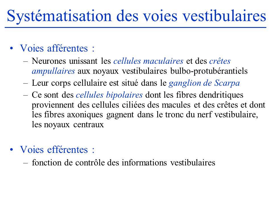 Systématisation des voies vestibulaires Voies afférentes : –Neurones unissant les cellules maculaires et des crêtes ampullaires aux noyaux vestibulair