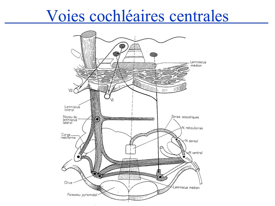 La voie cochléaire ventrale (2) –2/ Segment ponto-thalamique : Il constitue le lemniscus latéral formé des fibres cochléaires homo ou controlatérales précédentes qui se termine au niveau du tubercule quadrijumeau postérieur et du corps genouillé interne –3/ Faisceau thalamo-cortical : Il part du corps genouillé interne et se termine au niveau du cortex temporal.