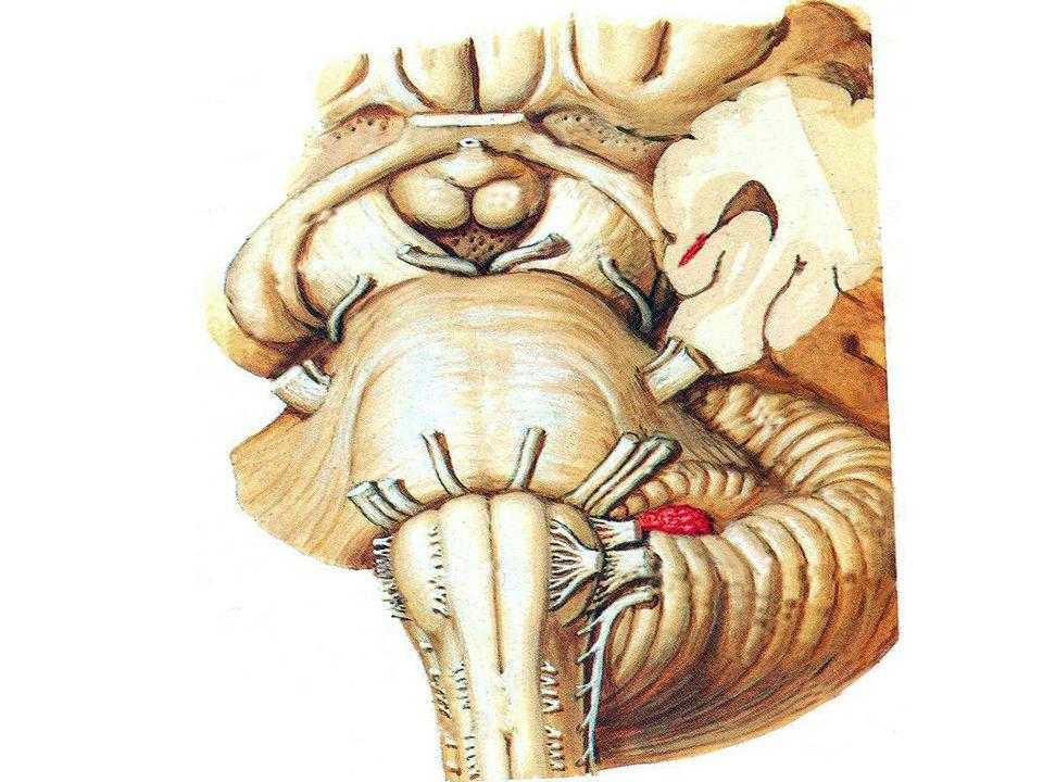 LES NERFS CRÂNIENS Nerf abducens VI - Origine apparente: Sillon bulbo-pontique - Origine réelle: plancher du IV ventricule - Orifice de sortie: fissure orbitaire supérieure - Innervation: muscle droit latéral - Rôle: mouvements conjugués: diplopie