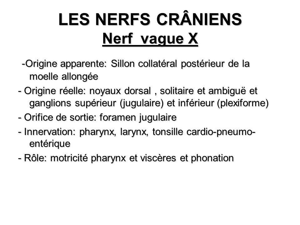 LES NERFS CRÂNIENS Nerf vague X -Origine apparente: Sillon collatéral postérieur de la moelle allongée -Origine apparente: Sillon collatéral postérieu