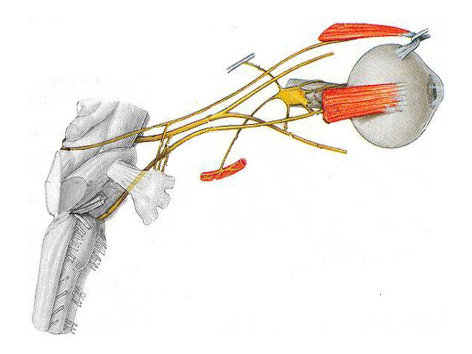 LES NERFS CRÂNIENS Nerf trochléaire IV - Origine apparente: face postérieure du mésencéphale - Origine réelle: toit du mésencéphale - Orifice de sortie: fissure orbitaire supérieure - Innervation: muscle oblique supérieure - Rôle: regard en bas et en dehors