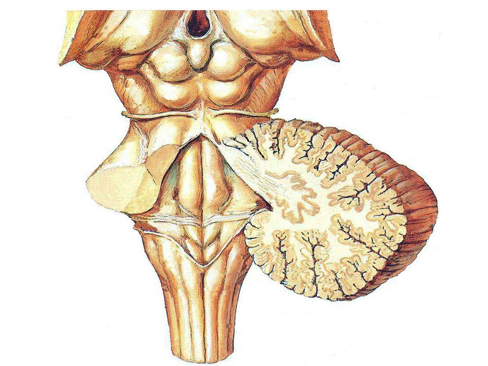 LES NERFS CRÂNIENS Nerf vague X -Origine apparente: Sillon collatéral postérieur de la moelle allongée -Origine apparente: Sillon collatéral postérieur de la moelle allongée - Origine réelle: noyaux dorsal, solitaire et ambiguë et ganglions supérieur (jugulaire) et inférieur (plexiforme) - Orifice de sortie: foramen jugulaire - Innervation: pharynx, larynx, tonsille cardio-pneumo- entérique - Rôle: motricité pharynx et viscères et phonation