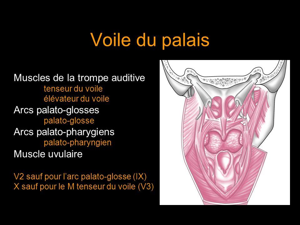 Voile du palais Muscles de la trompe auditive tenseur du voile élévateur du voile Arcs palato-glosses palato-glosse Arcs palato-pharygiens palato-phar