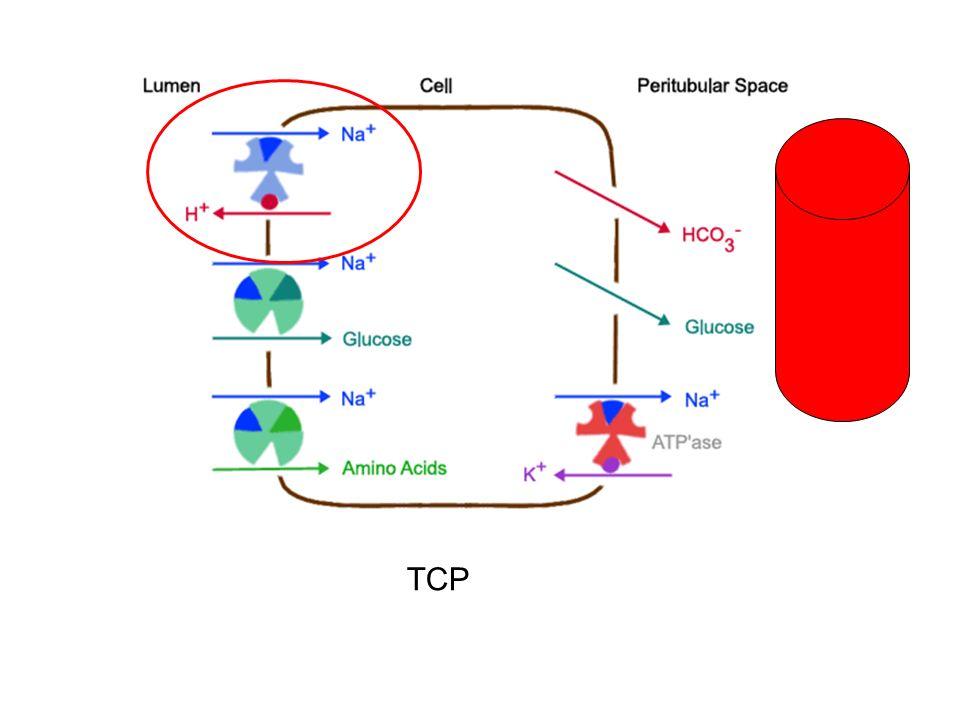 Diurétiques du TCP Acétazolamide (diamox®) = inhibiteur de lAC: diminution réabsorption HCO3¯et de Na+ => effet natriurétique modeste car réabsorption de Na en aval => acidose métabolique => hypokaliémie par secrétion distale de K + // charge sodée tubulaire distale Mannitol : diurétique osmotique entrainant une aquarèse