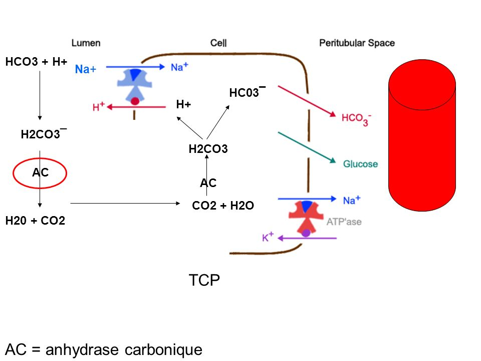 Diurétiques de lanse Furosémide (lasilix®), bumétamide (burinex®) => inhibition co-transport apical Na-K-2Cl => Fe Na = 25% => diminution du gradient électro-chimique intracellulaire : réabsorption Ca/Mg => hypokaliémie