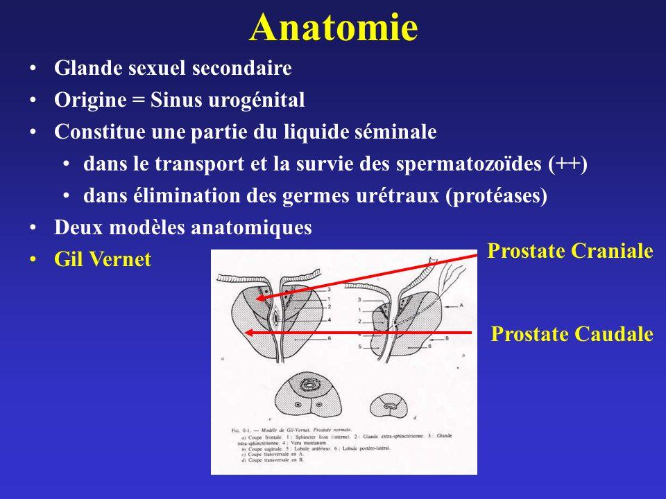 Anatomie Glande sexuel secondaire Origine = Sinus urogénital Constitue une partie du liquide séminale dans le transport et la survie des spermatozoïdes (++) dans élimination des germes urétraux (protéases) Deux modèles anatomiques Gil Vernet Prostate Craniale Prostate Caudale