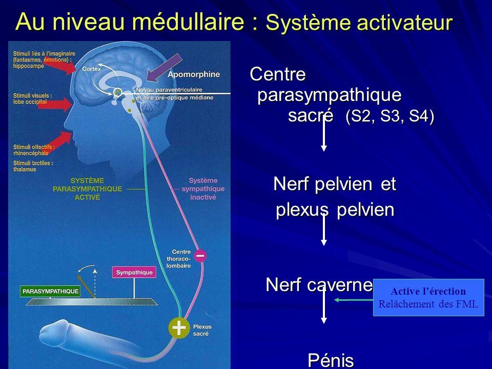 Au niveau médullaire : Système activateur Centre parasympathique sacré (S2, S3, S4) Centre parasympathique sacré (S2, S3, S4) Nerf pelvien et Nerf pel