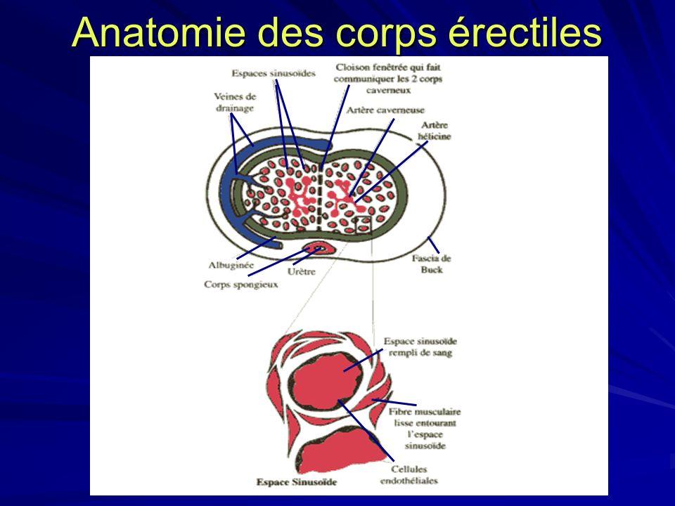 Anatomie des corps érectiles