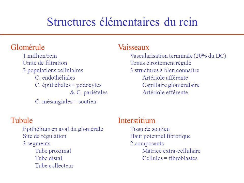 Structures élémentaires du rein Glomérule 1 million/rein Unité de filtration 3 populations cellulaires C. endothéliales C. épithéliales = podocytes &