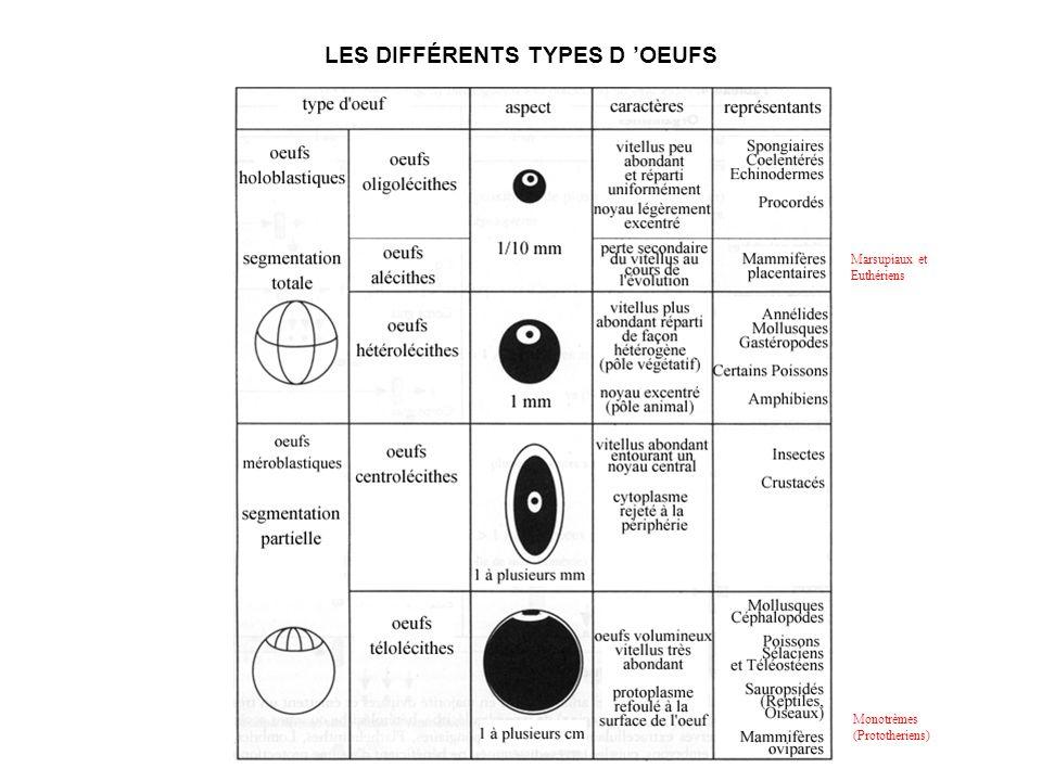 LES DIFFÉRENTS TYPES D OEUFS Monotrèmes (Prototheriens) Marsupiaux et Euthériens