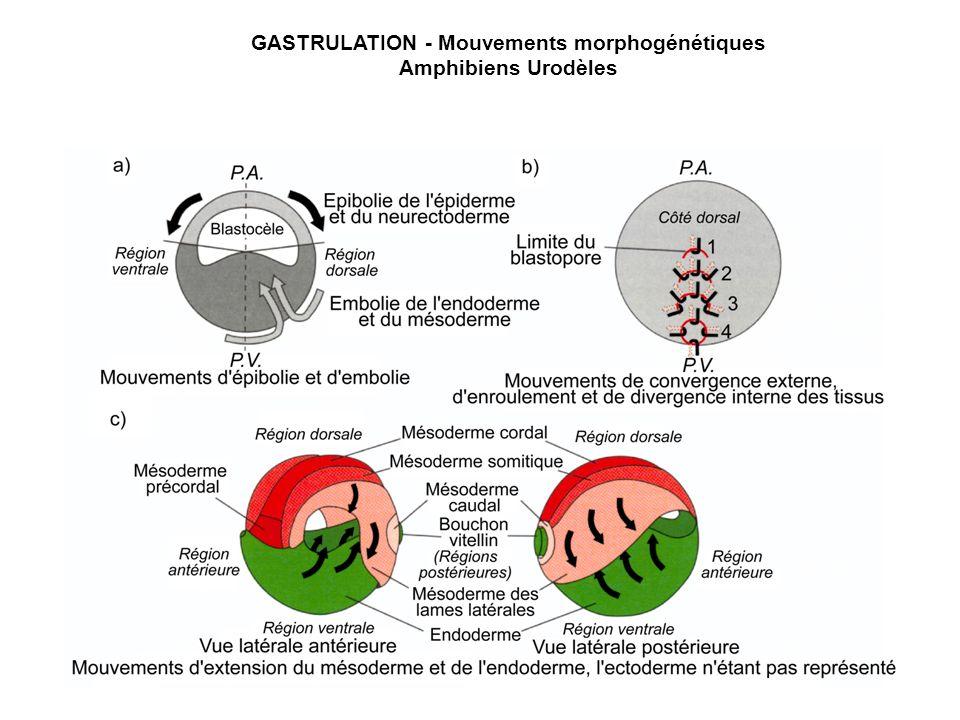 GASTRULATION - Mouvements morphogénétiques Amphibiens Urodèles