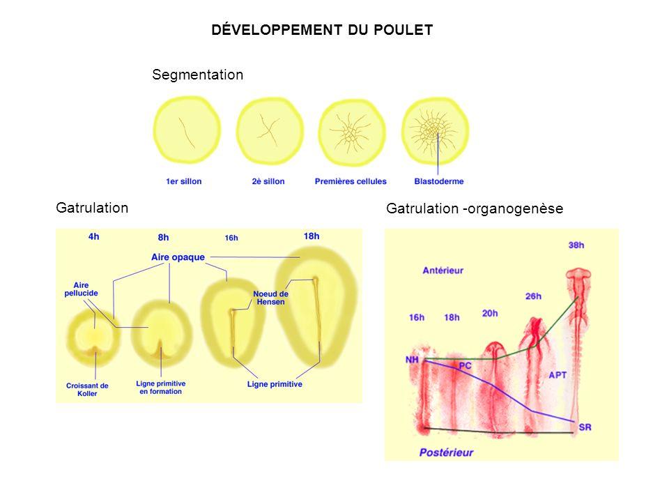 DÉVELOPPEMENT DU POULET Gatrulation Segmentation Gatrulation -organogenèse