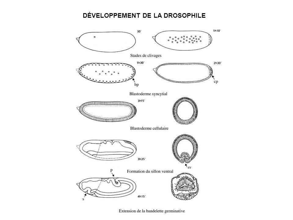 DÉVELOPPEMENT DE LA DROSOPHILE