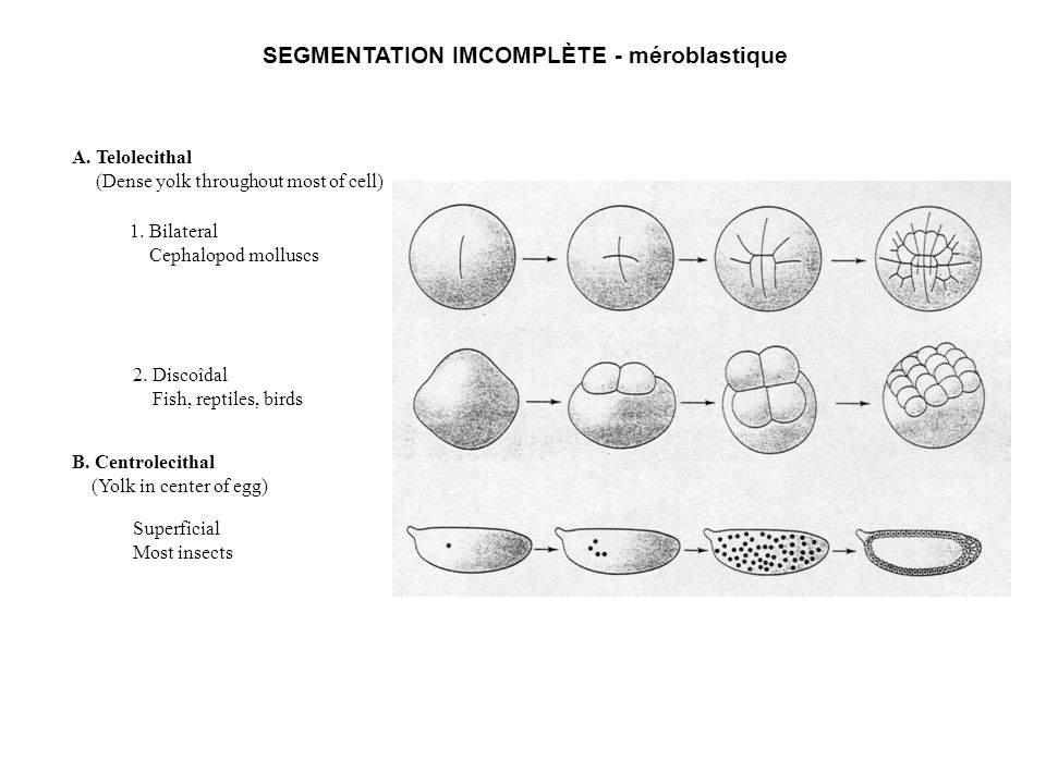 SEGMENTATION IMCOMPLÈTE - méroblastique A.Telolecithal (Dense yolk throughout most of cell) 1.