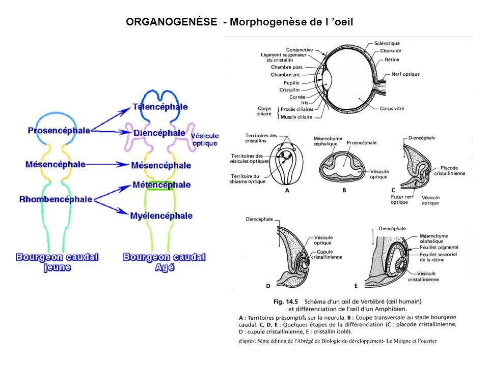 ORGANOGENÈSE - Morphogenèse de l oeil