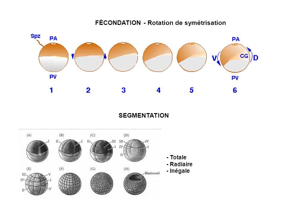 FÉCONDATION - Rotation de symétrisation SEGMENTATION - Totale - Radiaire - Inégale