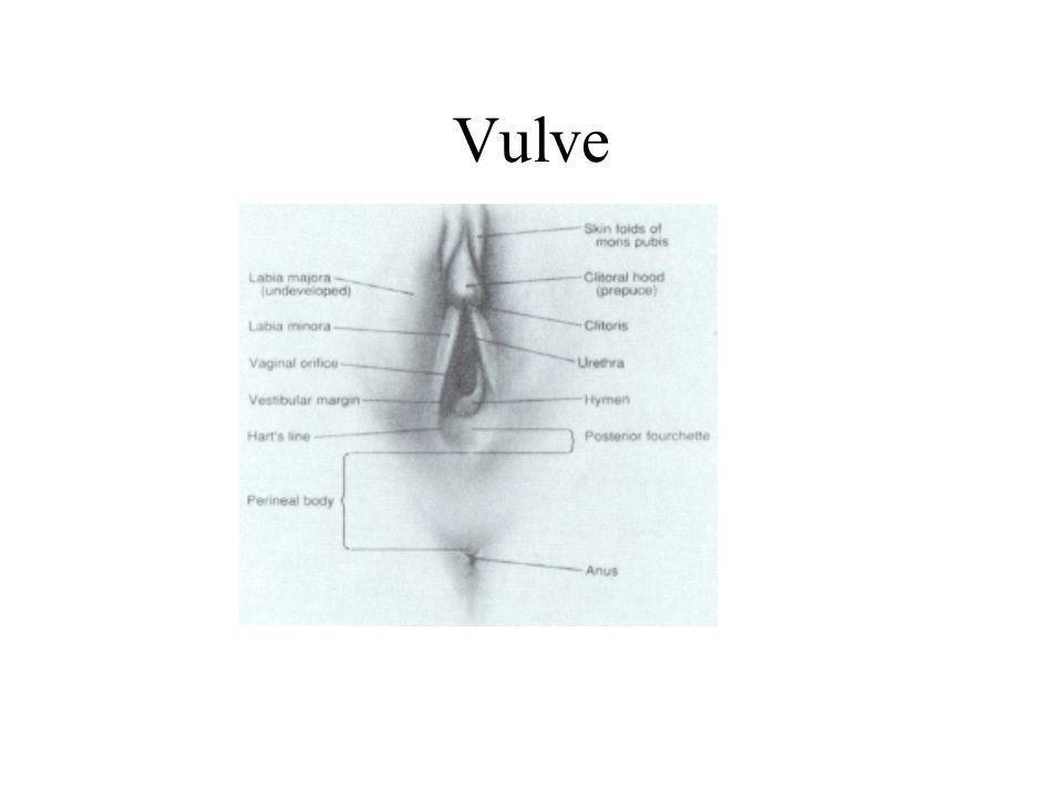 Vulve