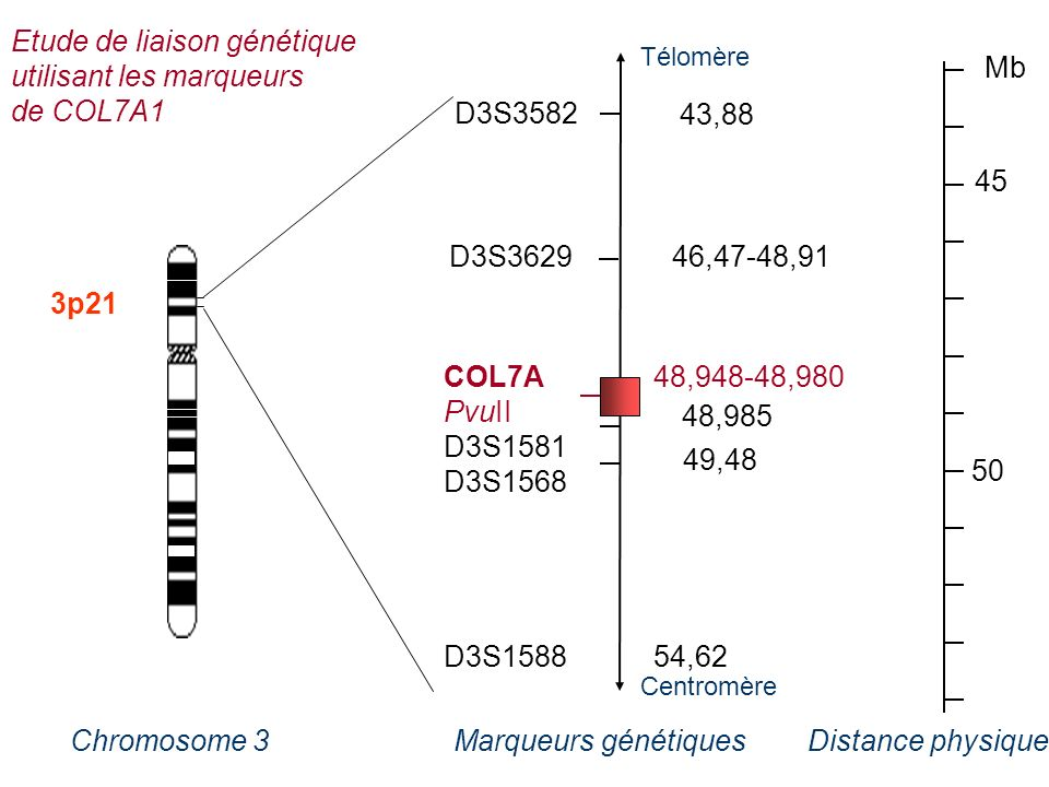 A 3p21 COL7A48,948-48,980 PvuII D3S1581 D3S1568 D3S158854,62 45 50 Mb D3S3582 43,88 D3S3629 46,47-48,91 48,985 49,48 Distance physiqueMarqueurs généti