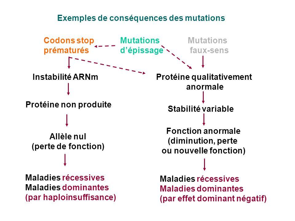 Exemples de conséquences des mutations Codons stop prématurés Instabilité ARNm Protéine non produite Allèle nul (perte de fonction) Maladies récessive
