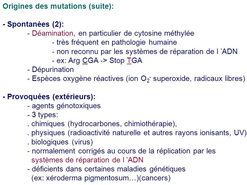 Origines des mutations (suite): - Spontanées (2): - Déamination, en particulier de cytosine méthylée - très fréquent en pathologie humaine - non recon