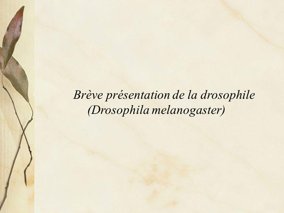 Cycle de reproduction de la drosophile, Drosophila melanogaster (indication déchelle: 0,1 mm)