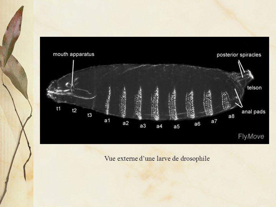 Vue externe dune larve de drosophile: axes antéro-postérieur et segmentation