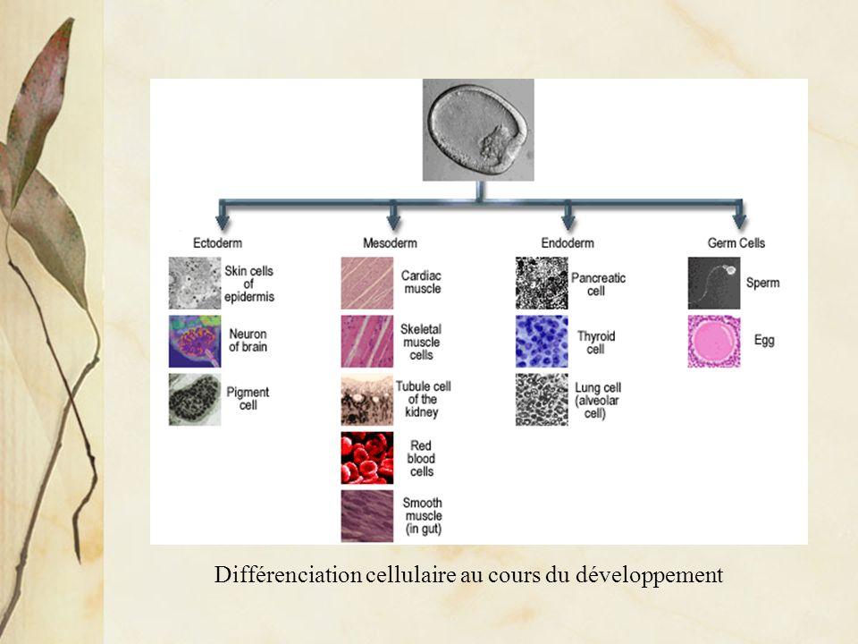 La régulation de lexpression des gènes au cours du développement