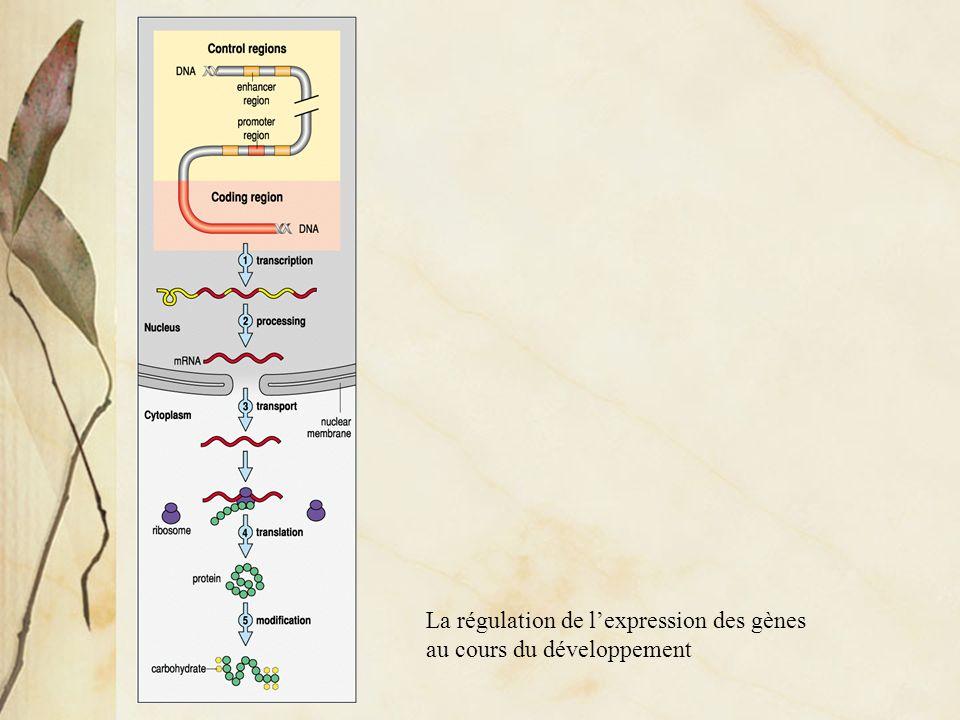 Régulation de la transcription chez les eucaryotes