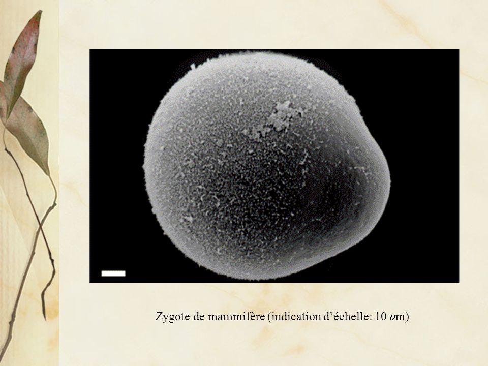 Contrôle héréditaire du développement Œuf de mammifère (indication déchelle: 10 m)