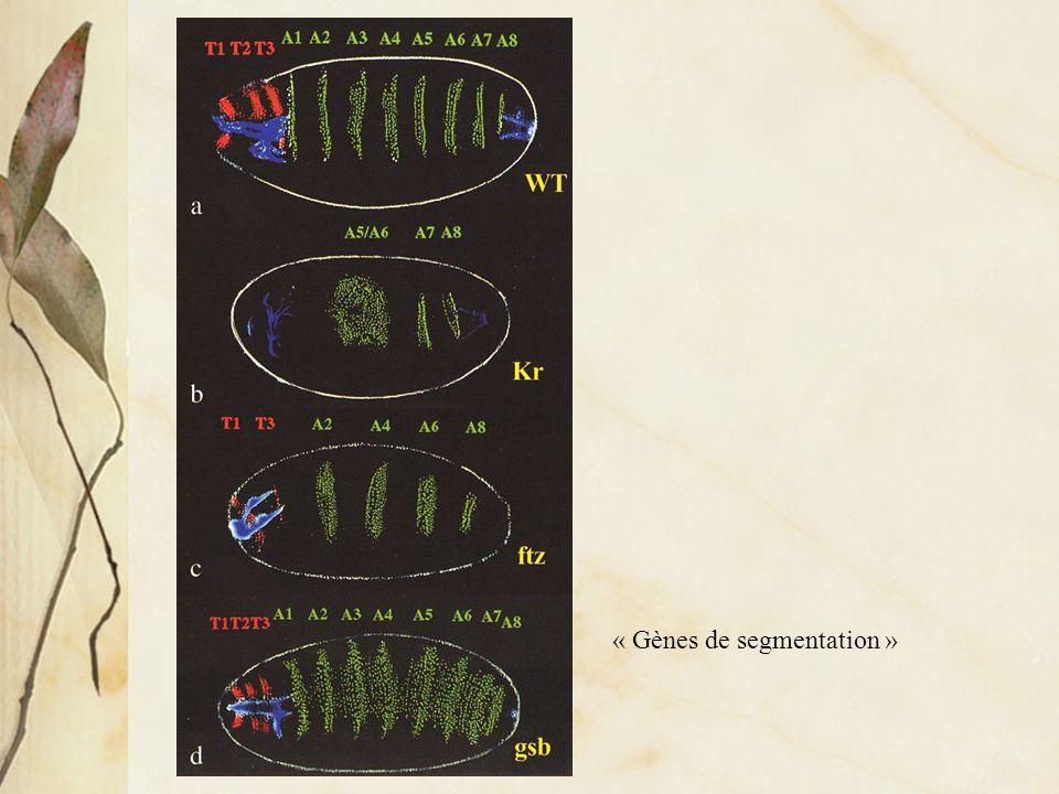 Distribution de protéines impliquées dans la formation de différents types de tissus distribués selon laxe dorso-ventral de lembryon