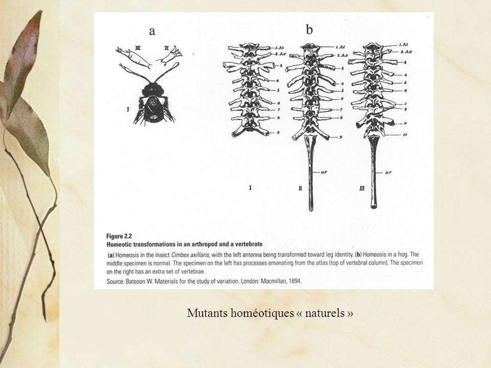 Mutants homéotiques chez la Drosophile