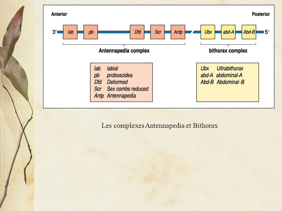 Gènes homéotiques et gènes Hox