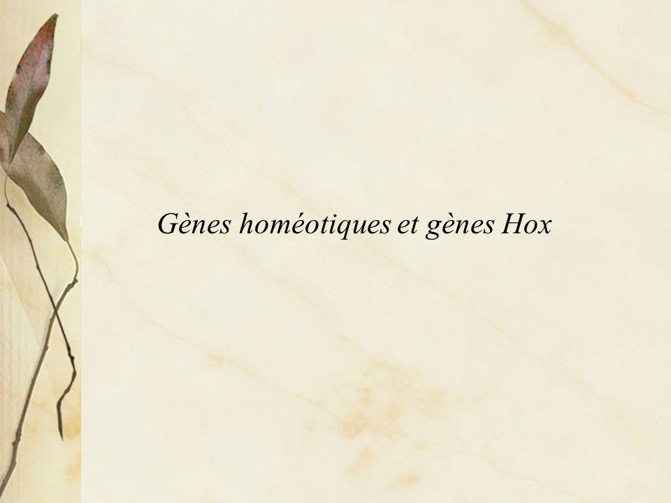 Lhoméodomaine codé par les gènes à homéoboite (homeobox)