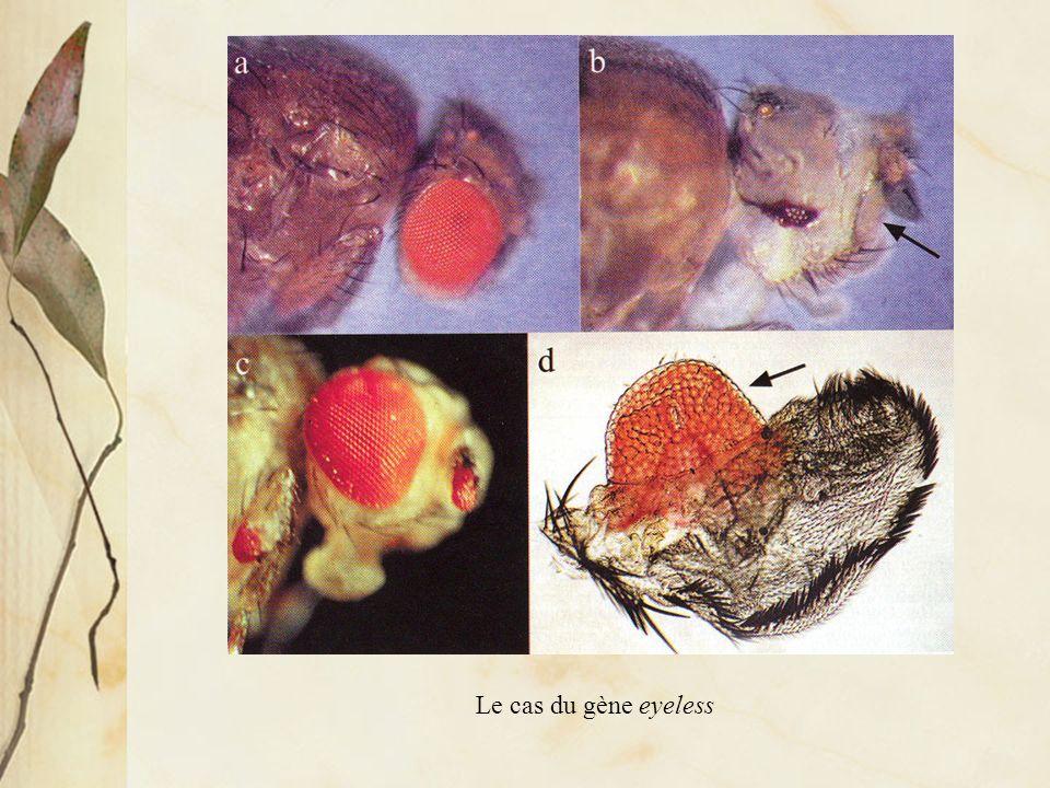 Distribution des protéines codées par les gènes eyeless (formation de lœil), distal-less (formation des appendices ventraux) et vestigial (formation des ailes)