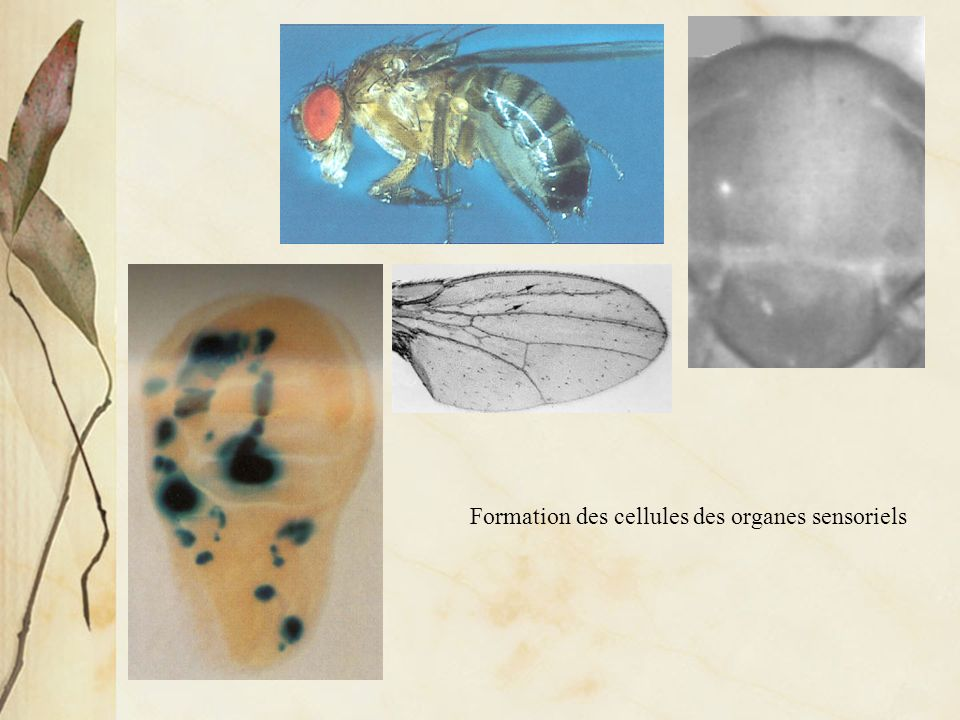 Est-ce que les gènes du développement sont conservés au cours de lévolution des animaux?
