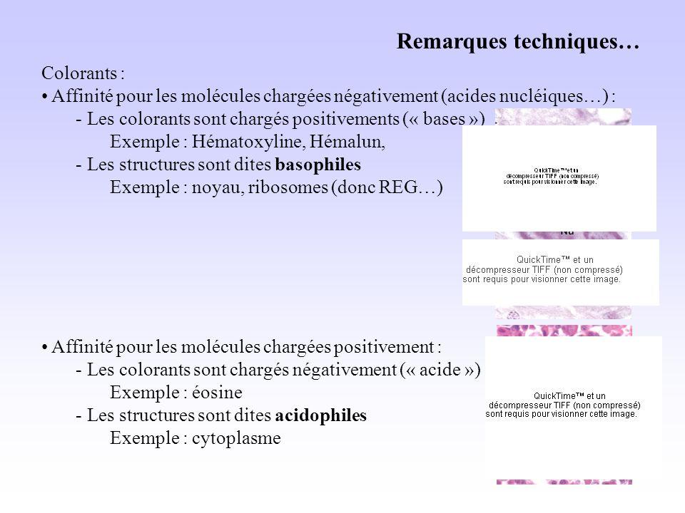 Remarques techniques… Colorants : Affinité pour les molécules chargées négativement (acides nucléiques…) : - Les colorants sont chargés positivements (« bases ») Exemple : Hématoxyline, Hémalun, - Les structures sont dites basophiles Exemple : noyau, ribosomes (donc REG…) Affinité pour les molécules chargées positivement : - Les colorants sont chargés négativement (« acide ») Exemple : éosine - Les structures sont dites acidophiles Exemple : cytoplasme