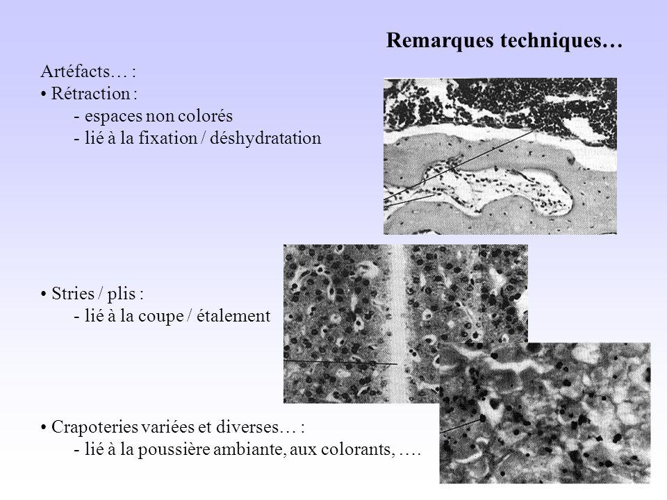 Remarques techniques… Artéfacts… : Rétraction : - espaces non colorés - lié à la fixation / déshydratation Stries / plis : - lié à la coupe / étalement Crapoteries variées et diverses… : - lié à la poussière ambiante, aux colorants, ….