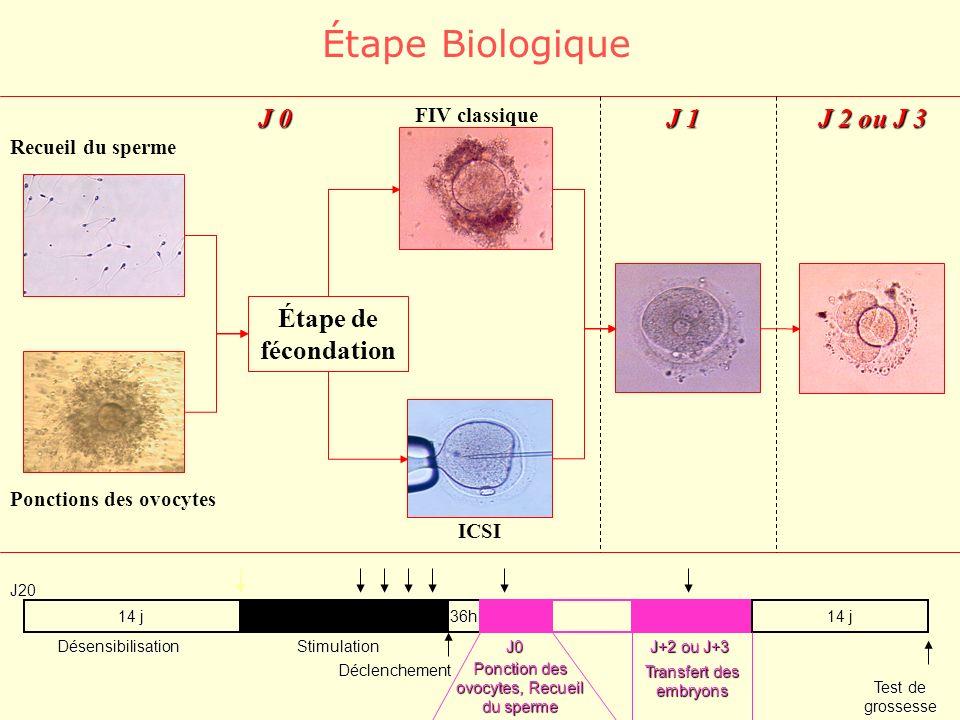 14 j 36h DésensibilisationStimulation Déclenchement Ponction des ovocytes, Recueil du sperme J+2 ou J+3 14 j Transfert des embryons Test de grossesse