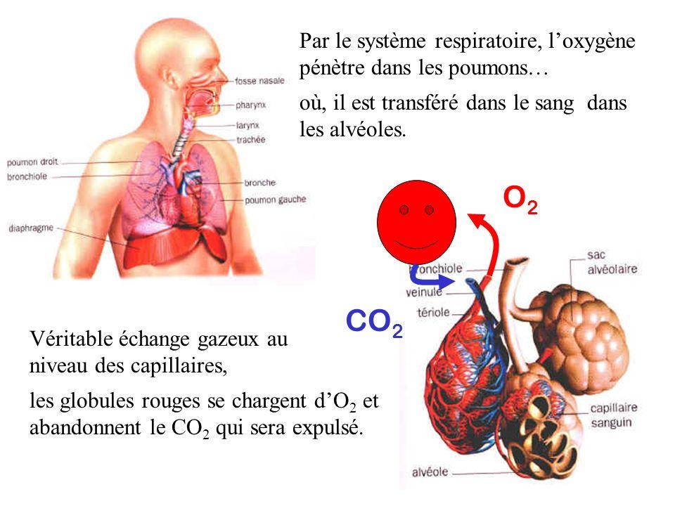 Par le système respiratoire, loxygène pénètre dans les poumons… où, il est transféré dans le sang dans les alvéoles. Véritable échange gazeux au nivea