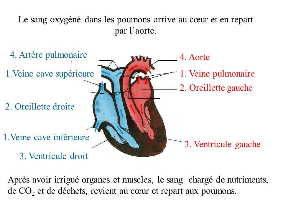 Le sang oxygéné dans les poumons arrive au cœur et en repart par laorte. 1. Veine pulmonaire 2. Oreillette gauche 3. Ventricule gauche 4. Aorte Après