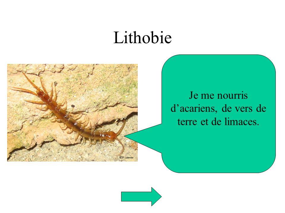 Lithobie Je me nourris dacariens, de vers de terre et de limaces.