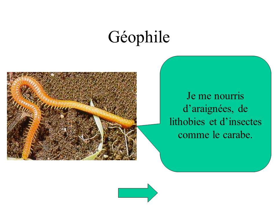 Géophile Je me nourris daraignées, de lithobies et dinsectes comme le carabe.