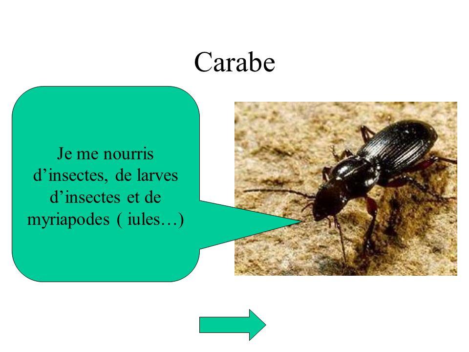 Carabe Je me nourris dinsectes, de larves dinsectes et de myriapodes ( iules…)