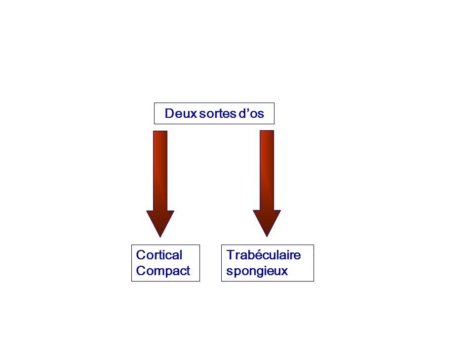 Deux sortes dos Cortical Compact Trabéculaire spongieux
