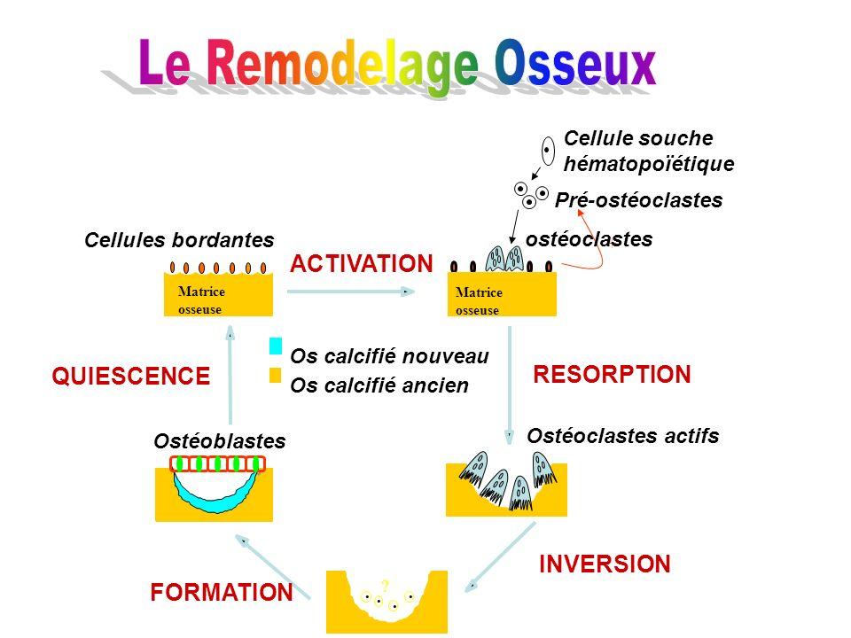 .... QUIESCENCE Ostéoblastes Ostéoclastes actifs FORMATION INVERSION ACTIVATION RESORPTION Os calcifié nouveau Os calcifié ancien Cellules bordantes P